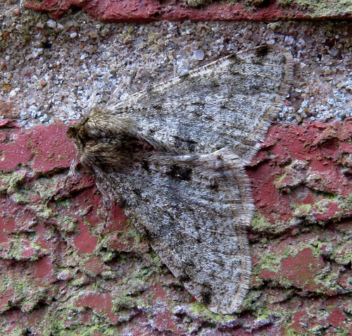 Pale Brindled Beauty Phigalia pilosaria Tophill Low NR, East Yorkshire February 2017