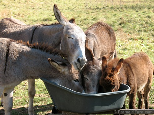The Daily Donkey 94 - Treat Time Bliss in Donkeyland | by Farmgirl Susan
