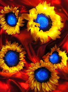 blue centered sunflowers | by emellin66