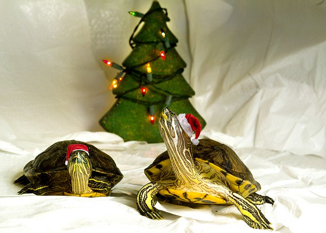 Christmas Turtle | Dave Perreault | Flickr