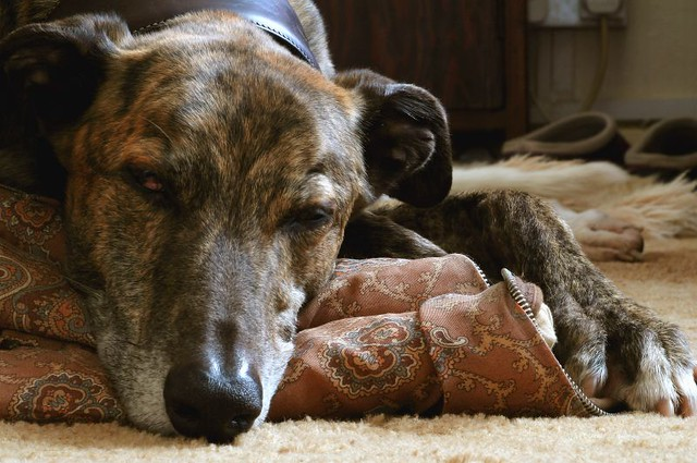 Dogs Suitable For Small Yards Australia
