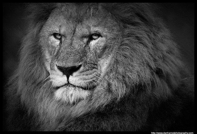 African Lion, Black And White Study