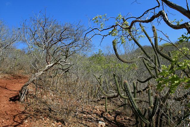 La caatinga, végétation épineuse du sertão