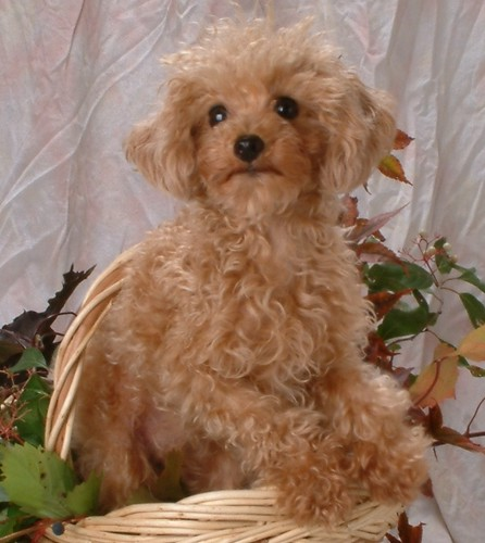 Pumpkin The Dog - a Toy Poodle Rescue | Eileen | Flickr