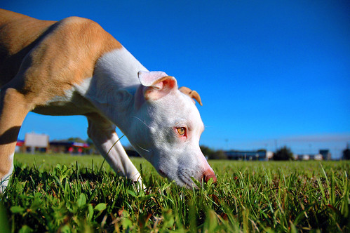 Pit Bull Bella Sniffin | by nineball2727