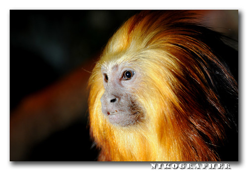 Golden Headed Lion Tamarin - Nikon Flash Guide | by Nikographer [Jon]