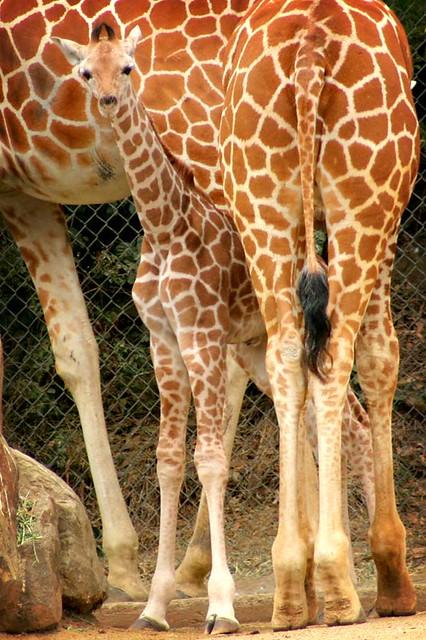 Image Result For Cute Baby Giraffe