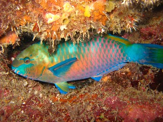IMG_6453_Quoy's parrotfish (Scarus quoyi) | by Tiomanese