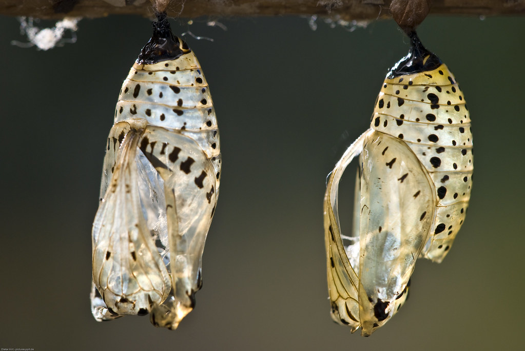 Schmetterling kokon 9488 schmetterlinge lepidoptera for Kokon kokon