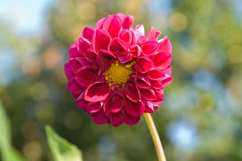 Почему у георгин мелкие цветы