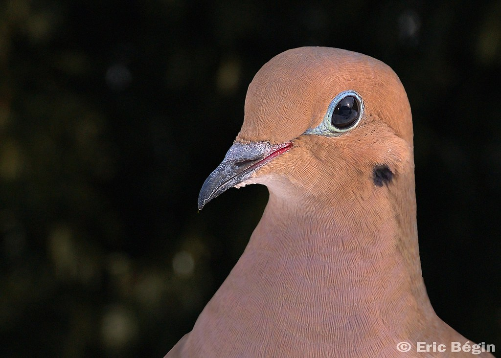 Portrait (head shot) of Mourning Dove.