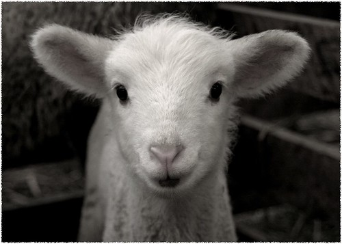 White Lamb 2 (color version) | by Mountain Mike