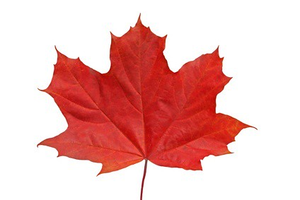 About >> Red maple leaf. | Red maple leaf isolated on white backgroun… | bricksandco | Flickr