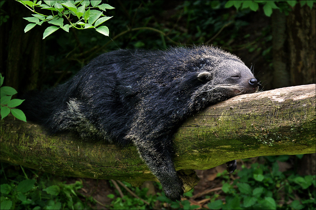 Sleeping Binturong or Bearcat | Flickr - Photo Sharing!