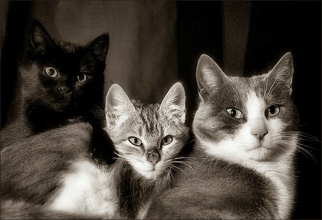 three cats / tres gats   Better on the photoblog Black or ... Black And White Cats