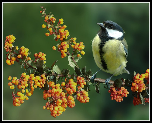 Great tit on pyracantha | by hawkgenes