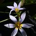Romulea tabularis #2
