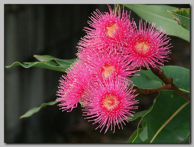Pink flowering gum so called red flowering gum bloodwoo flickr pink flowering gum by tatters mightylinksfo