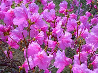 """cornell pink"" azalea 