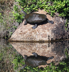 Macquarie turtle | by mgjefferies