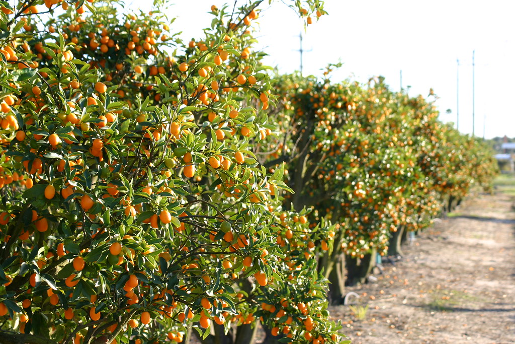 Mixon Fruit Farms is a fun and unique Florida Attraction,gift shop, deli and citrus shipping facility. We also have a tram tour through the grove and free tour of the plant. Citrus shipping season is from November to May.4/4(73).