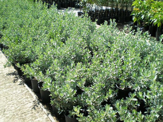 mangle plateado  conocarpus erectus var  sericeus