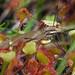 Roundleaf Sundew / Crane Fly