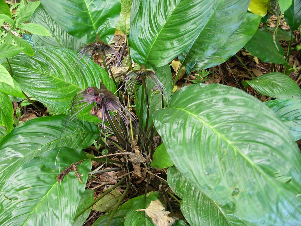 Tacca chantrieri Bat plant Tacca chantrieri Batflower B…
