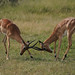 Impalas Fightin
