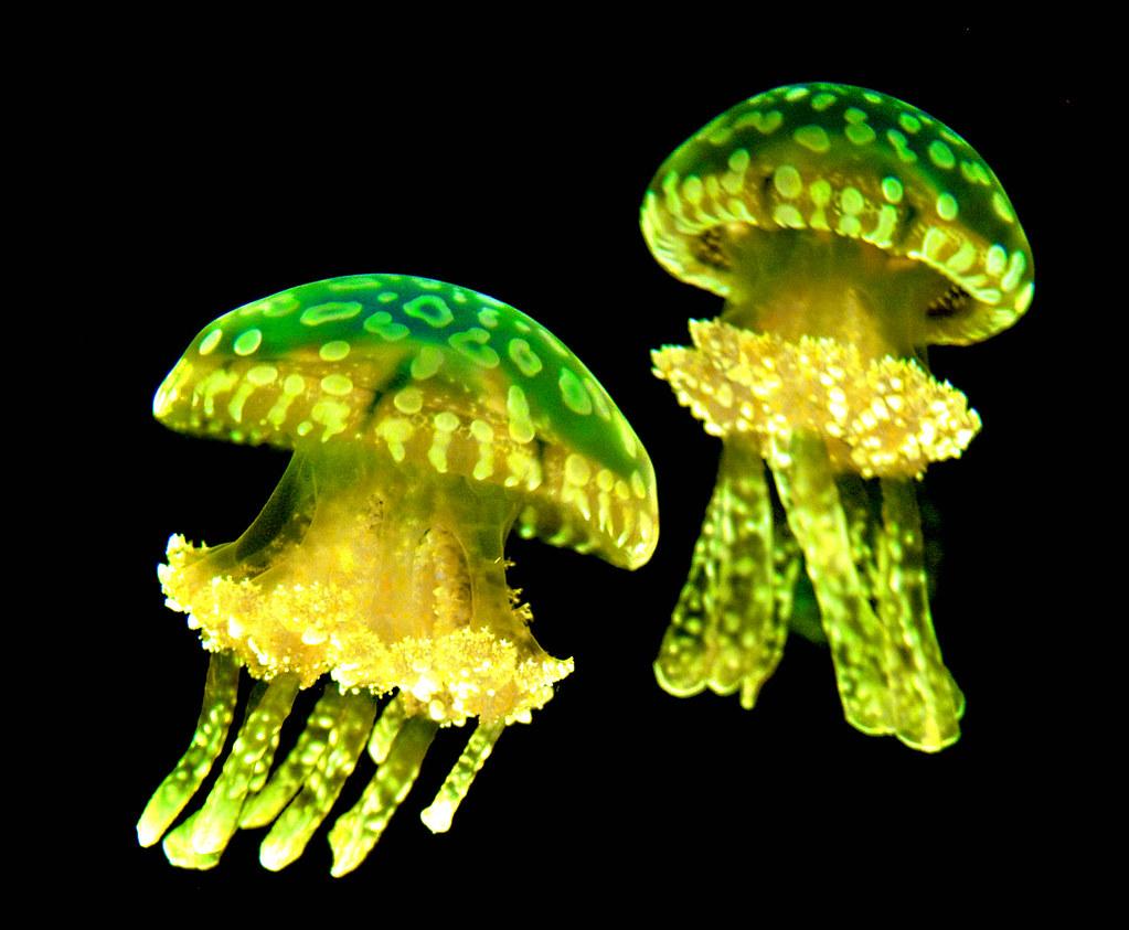 Green Jellyfish Eric Vondy Flickr