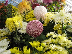 Fall Flower Shows Bright Side | by WNPR - Connecticut Public Radio