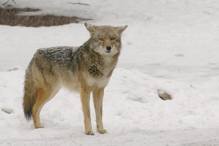 Yosemite N.P. - Coyote in the snow | by amorimur