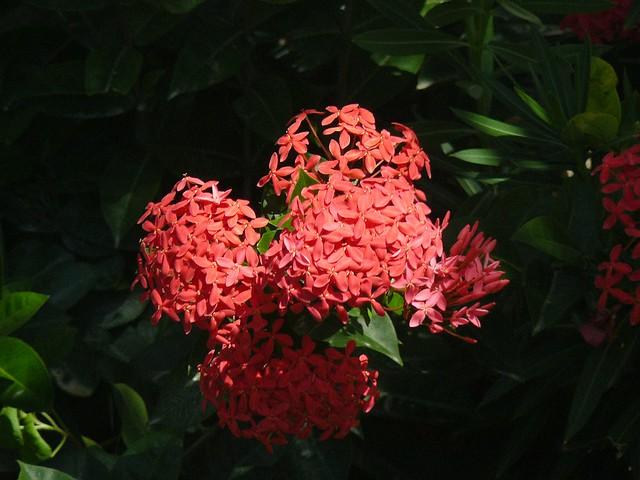 Flor De Isora Roja Ixora Coccinea Rubiaceae La Isora