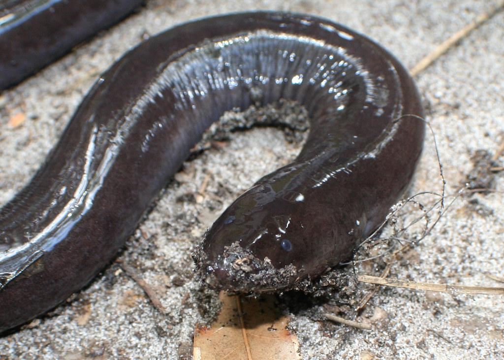 Two Toed Amphiuma Amphiuma Means Highlands County Fl