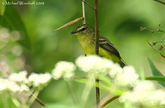 Yellow Tyrannulet | by Michael Woodruff