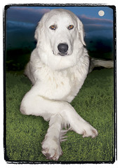 "Great Pyrenees  ""Luna"" 