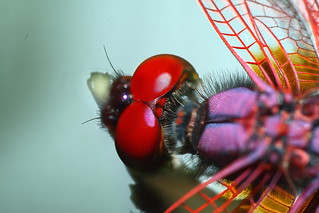 Red Dragonfly close-up | by [ isnap's Photography ]