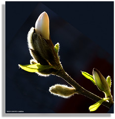 Magnolia Bud* | by West County Camera