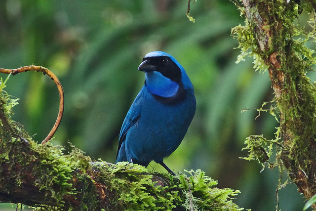 Turquoise Jay (Cyanolyca turcosa) at Cloud Forest Reserve Bellavista, Tandayapa valley, Mindo region, Ecuador.