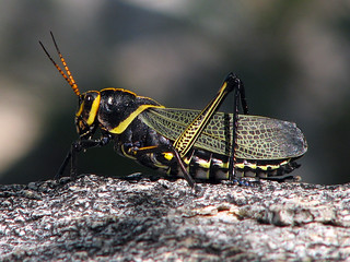 Horse lubber grasshopper | by treegrow