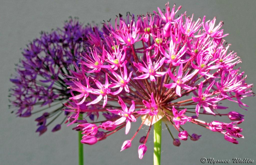 Allium flowers allium giganteum nyomee wallen flickr allium flowers allium giganteum by nyomee wallen mightylinksfo