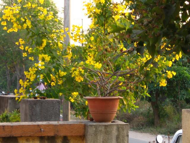 Yellow kaner flowering season yellow year round blossoming flickr yellow kaner flowering season by ajariaudr mightylinksfo