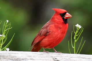 Male Cardinal with Seed | by twg1942