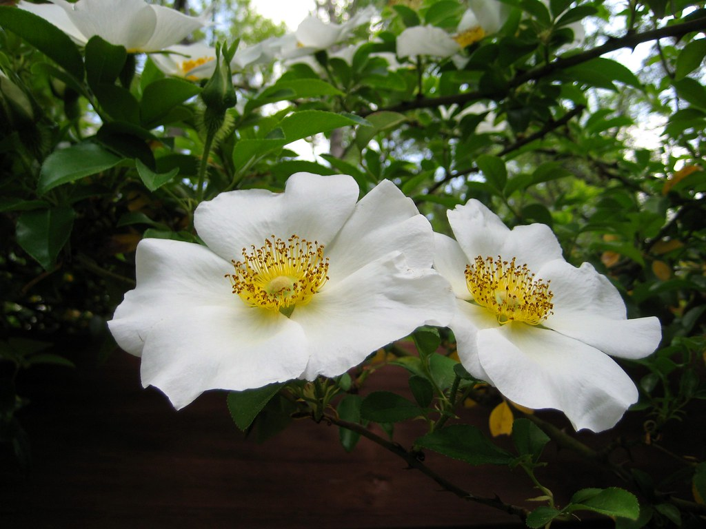 Cherokee Rose Georgia State Flower Tammy M Flickr