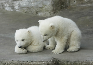 Vienna's polar bear cubs | by f.svehla