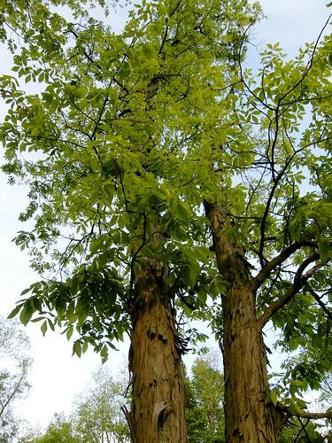 Hickory trees looking up through shagbark