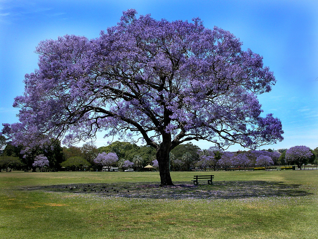 Jacaranda Tree in New farm Park | Unfortunately this tree ...