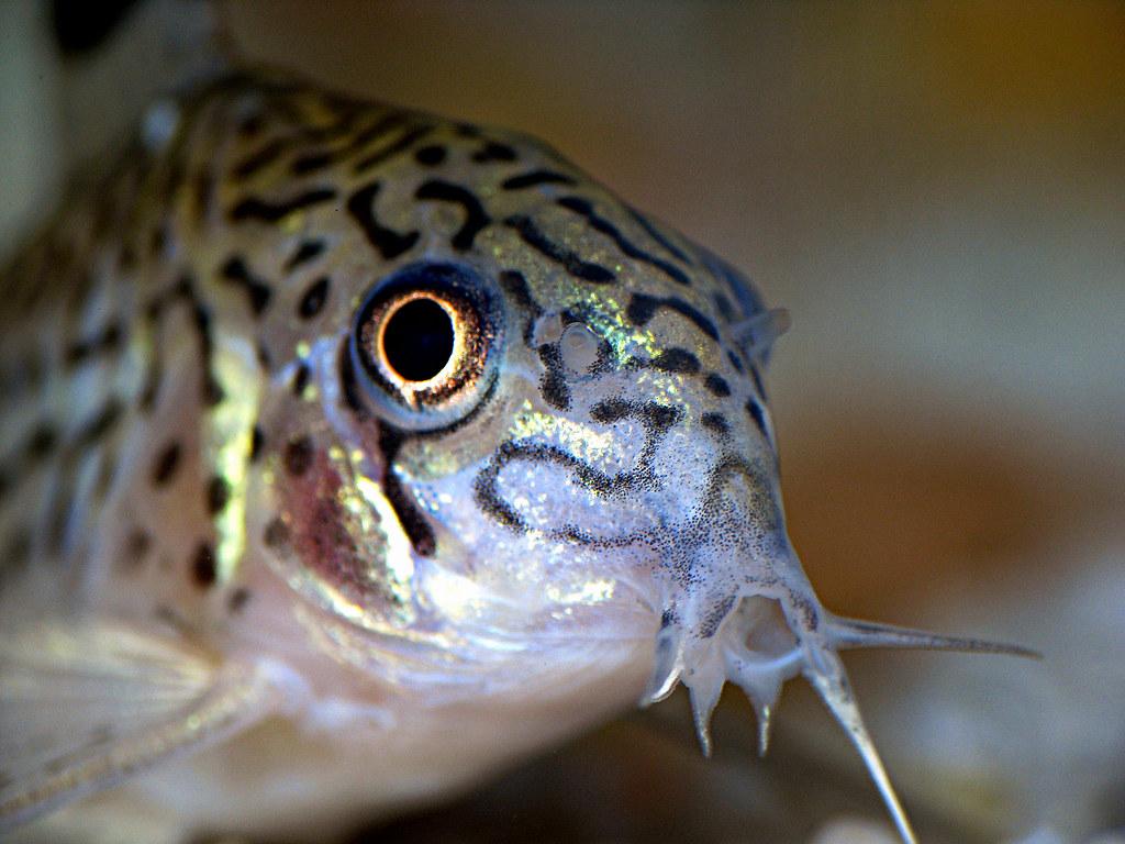 Cory catfish julii corydora catfish in my 55g fw tank for Cory cat fish