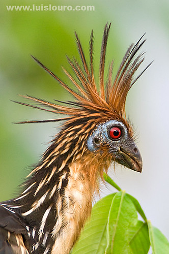 Hoatzin | by Luís Louro