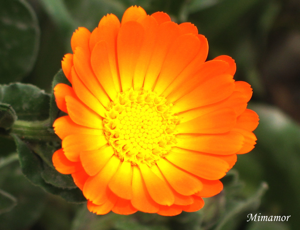 flor gerbera anaranjada explore 338 flor gerbera anaranj flickr